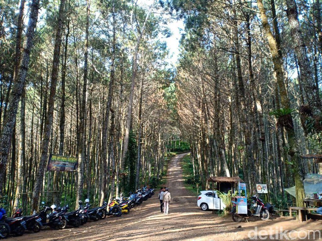 Menikmati Udara Sejuk di Hutan Pinus Giri Wening Lembang