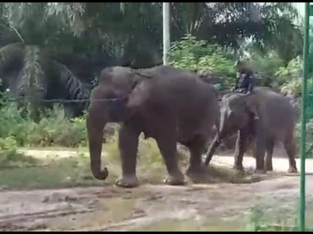 Stres Terpisah dari Kelompok, Gajah Betina di Riau Dievakuasi BBKSDA