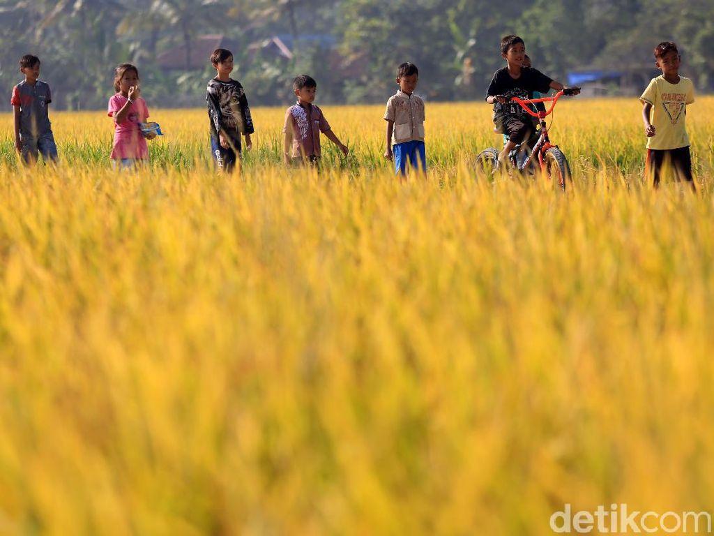 Indonesia Pernah Punya 7.000 Jenis Padi, Sebagian Kini Punah