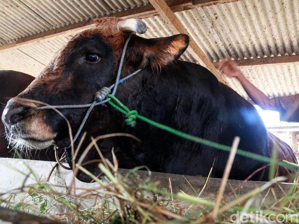 Warga Hendak Berkurban di Banda Aceh Naik, Daging Diantar ke Rumah Penerima