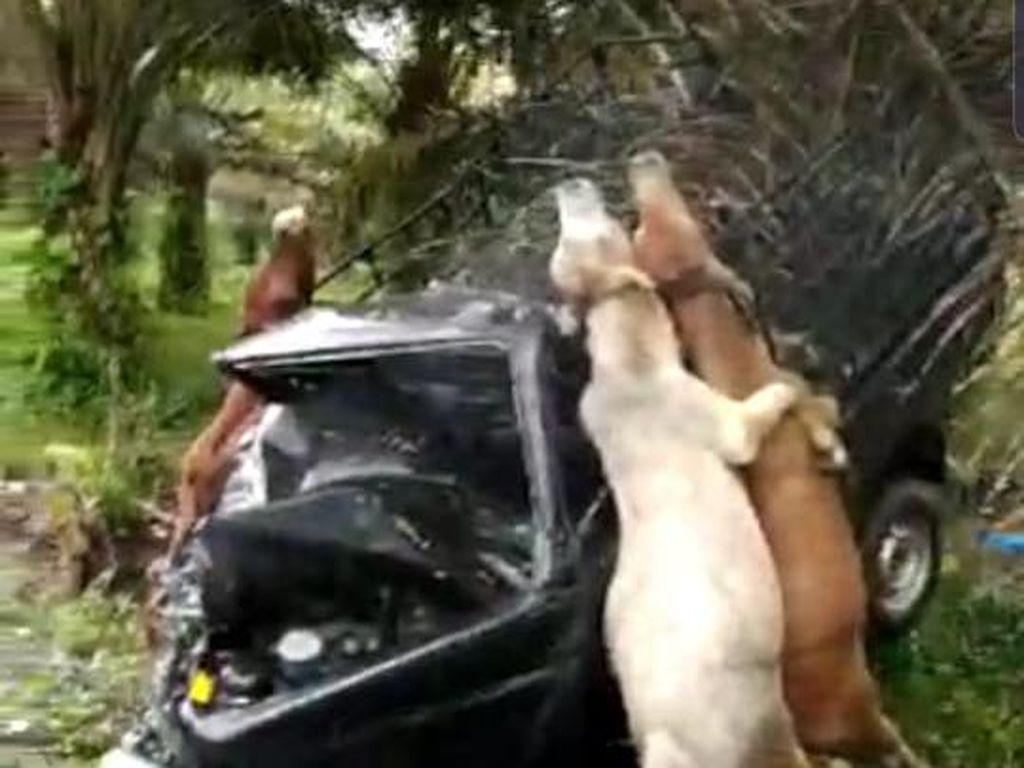 Tabrakan Mobil-Pikap Hewan Kurban di Aceh, 3 Sapi Terjerat hingga Mati