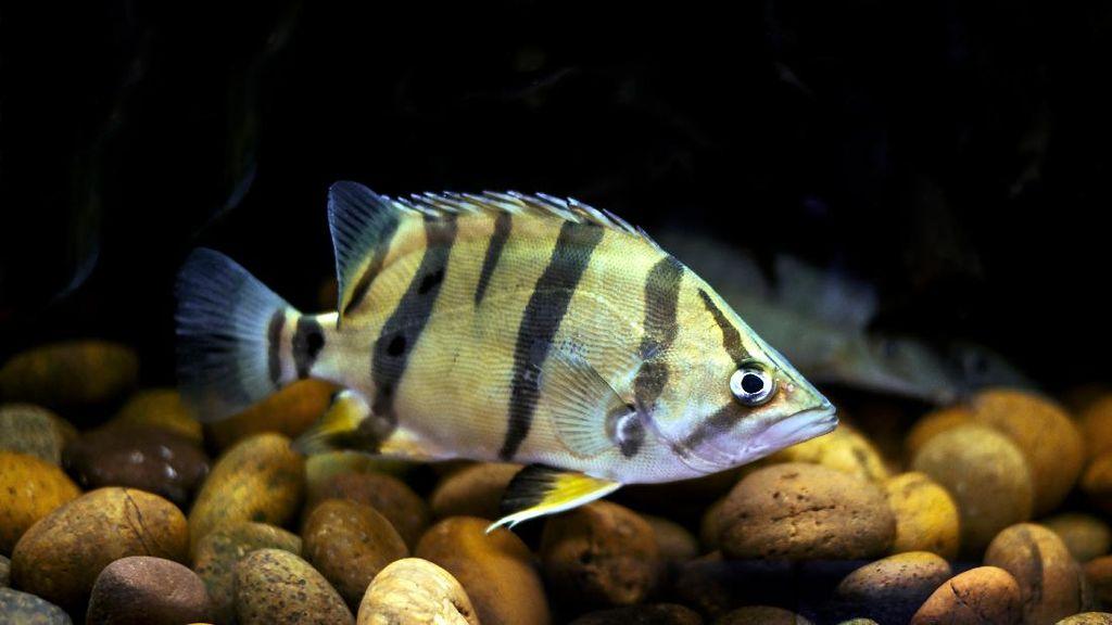 Melihat Lebih Dekat Tiger Fish yang Fenomenal