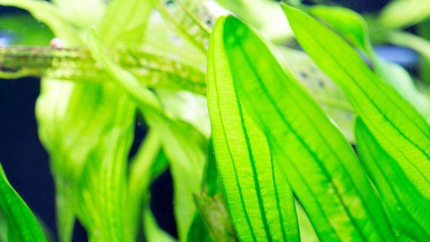 Aquarium plants - Vallisneria gigantea and Vallisneria spiralis