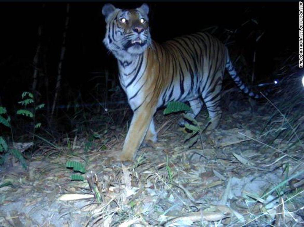 Pertama dalam 4 Tahun, Keberadaan Harimau Terancam Punah Terlihat di Thailand