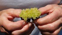 Kaviar Ini Diambil Dari Jeruk Lemon Termahal di Dunia