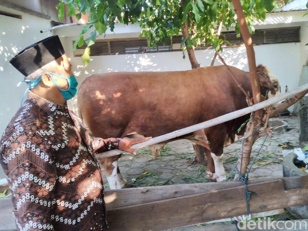 Sapi Kurban Jokowi Sempat Ngamuk-Lepas di Rumdin Bupati Kulon Progo