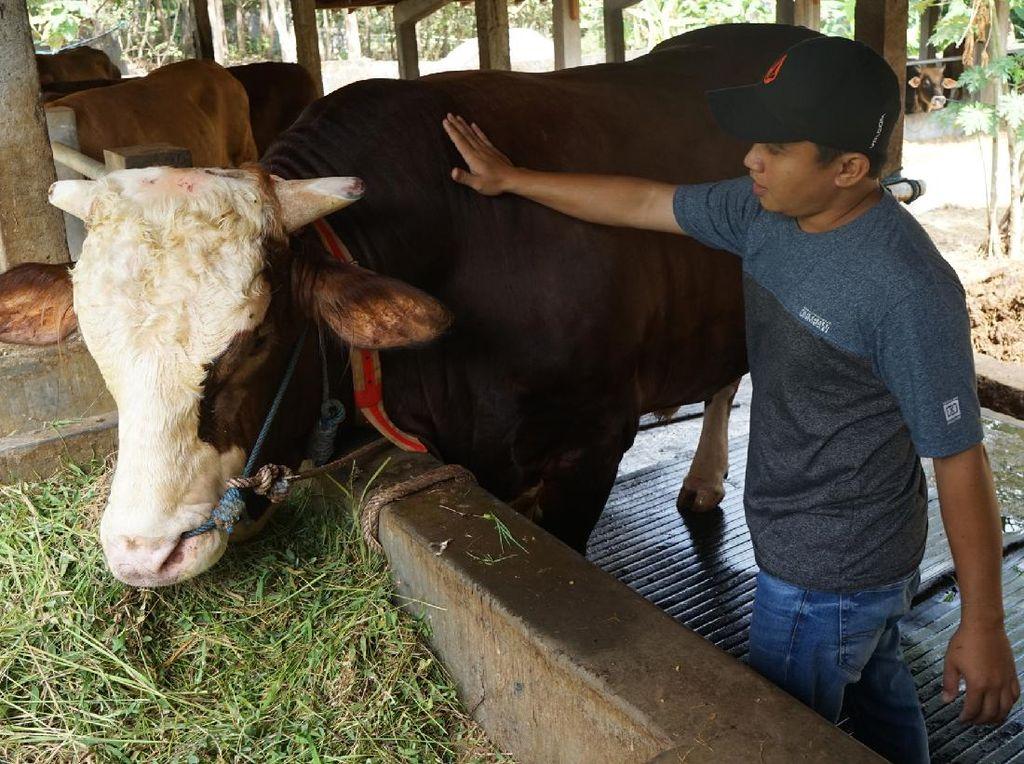 Penyembelihan Sapi Jokowi Jadi Tontonan Warga Pasangkayu