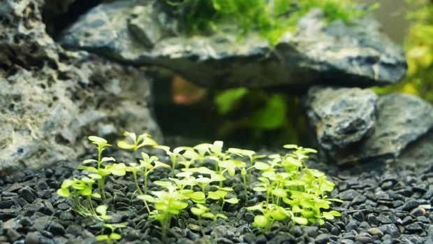 Aquascape dwarf baby tears plant