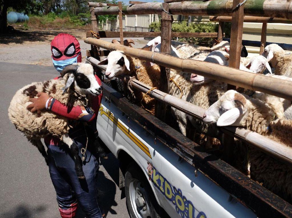 Wih, Spiderman Bantu Salurkan Hewan Kurban di Solo