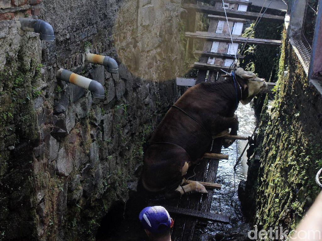 Bikin Heboh! Sapi Kurban Nyemplung Sungai Solo, Evakuasinya Butuh 3 Jam