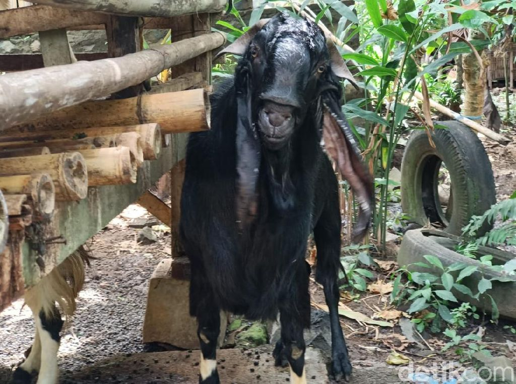 Apa Penyebab Kambing di Banyuwangi Ini Berbau Pandan?