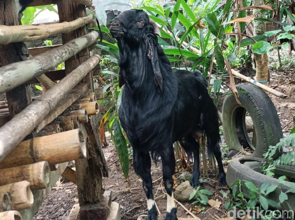 Heboh Kambing Beraroma Pandan di Banyuwangi yang Not For Sale