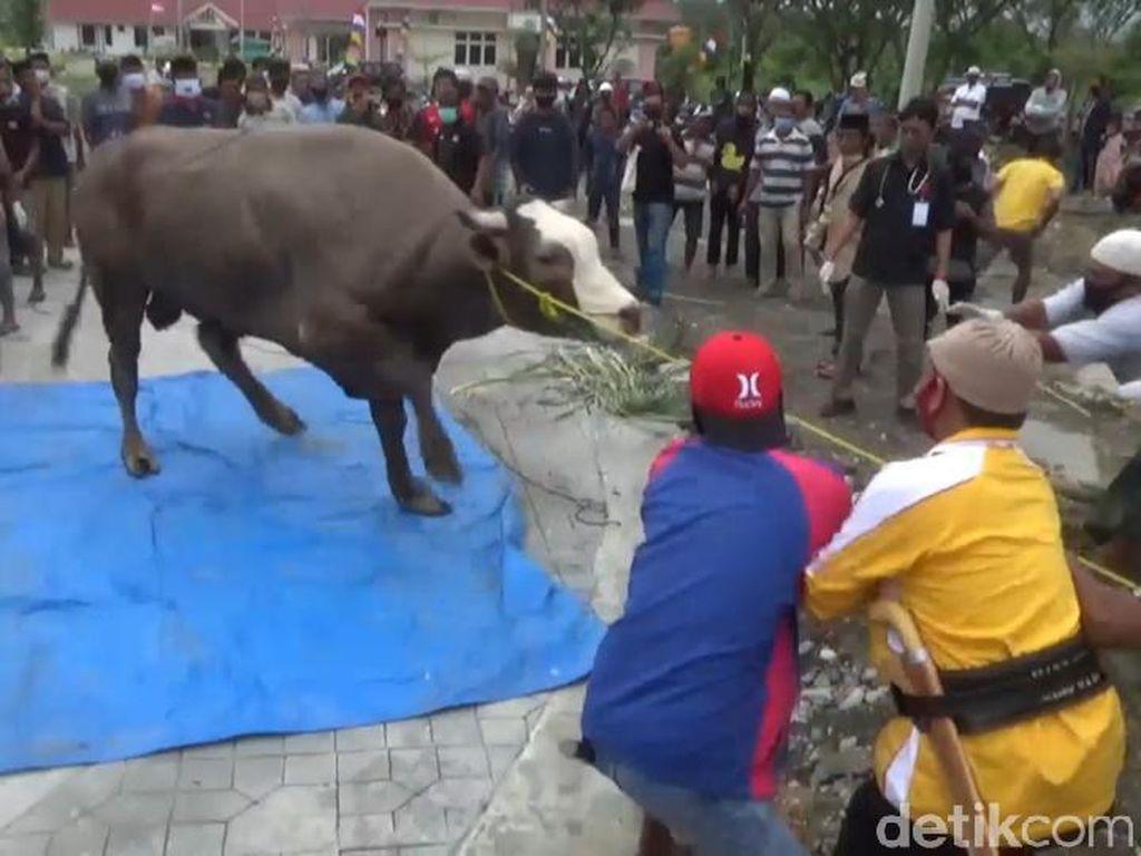 Warga Sulbar Senang Dapat Daging Kurban Meski Sapi Jokowi Sempat Ngamuk