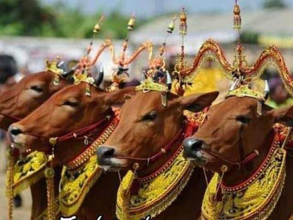 5 Tradisi Idul Adha di Indonesia, Ada yang Dandani Sapi Jadi Cantik