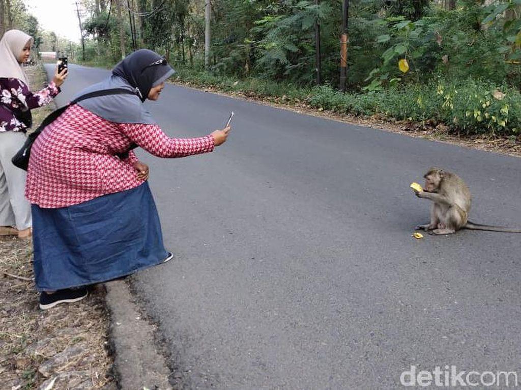 Monyet-monyet di Hutan Blora Turun Jalan Cari Makan, Jadi Wisata Dadakan