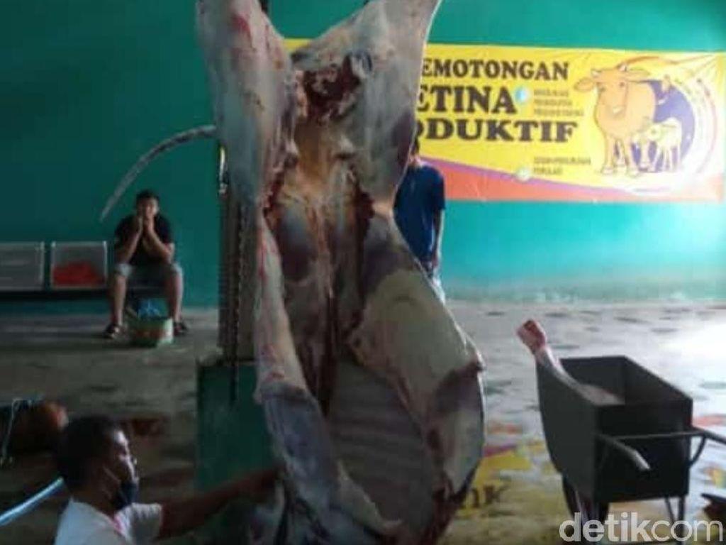 81 Hewan Kurban di Blitar Ditemukan Ada Cacing Hati