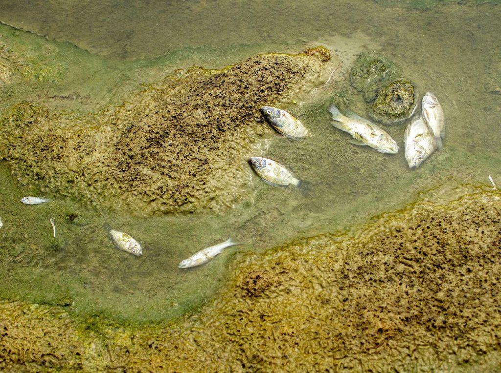 Citarum Tercemar Limbah, Ikan-ikan Mati