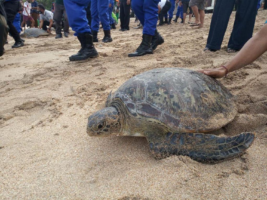25 Ekor Penyu Dilepasliarkan Polda Bali ke Pantai Kuta
