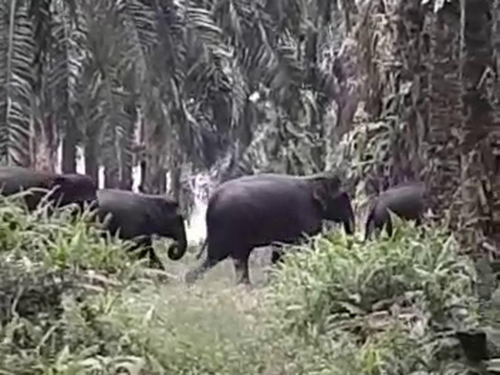 14 Gajah Liar di Riau Digiring dari Permukiman ke Kawasan Konservasi