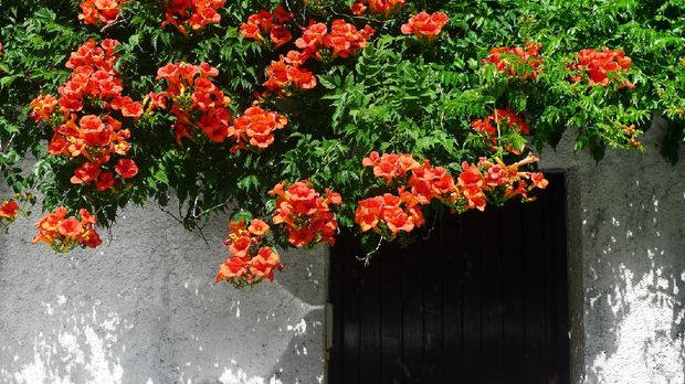 Trumpet Vine in Full Flower hanging over a White Wall