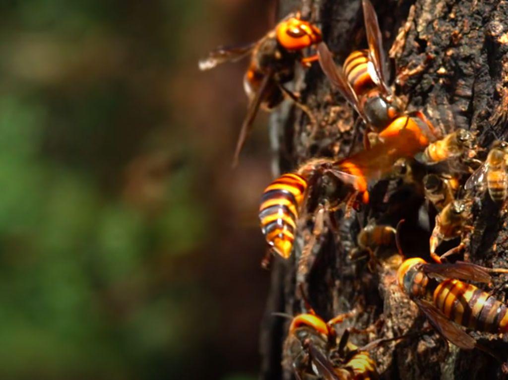 Lebah Madu Jadikan Kotoran Sebagai Senjata Lawan Tawon Pembunuh