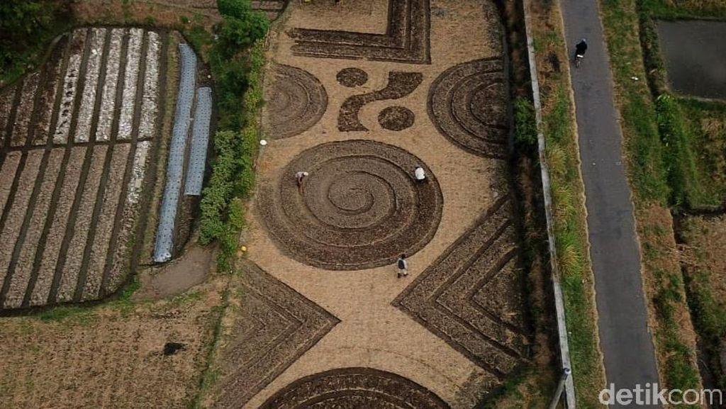 Foto-foto Crop Circle yang Geger di Klaten