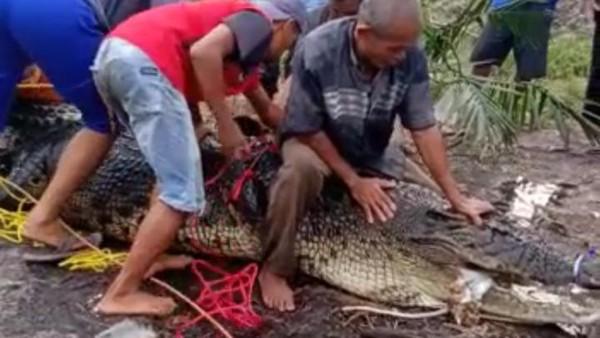Buaya Raksasa Diyakini Siluman Ditemukan di Bangka Belitung (foto: Detik)
