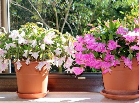 5 Tanaman Hias Kaktus Murah Meriah Cocok Untuk Hiasan Indoor