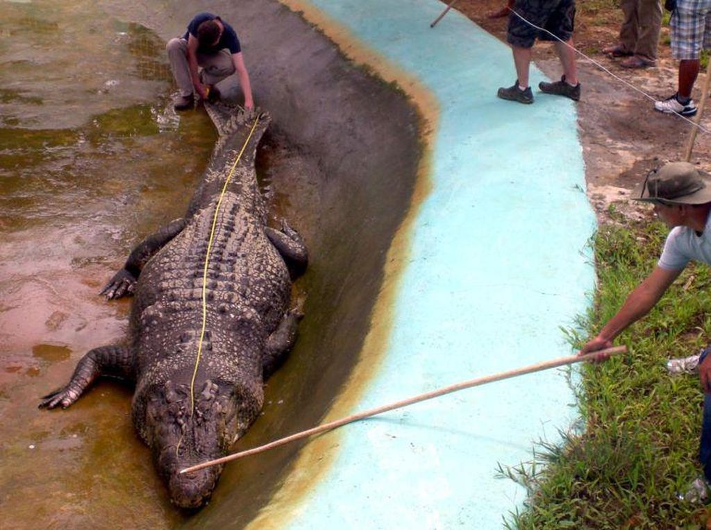 Buaya Siluman di Bangka Belitung Memang Jumbo tapi Masih Kalah dengan Lolong