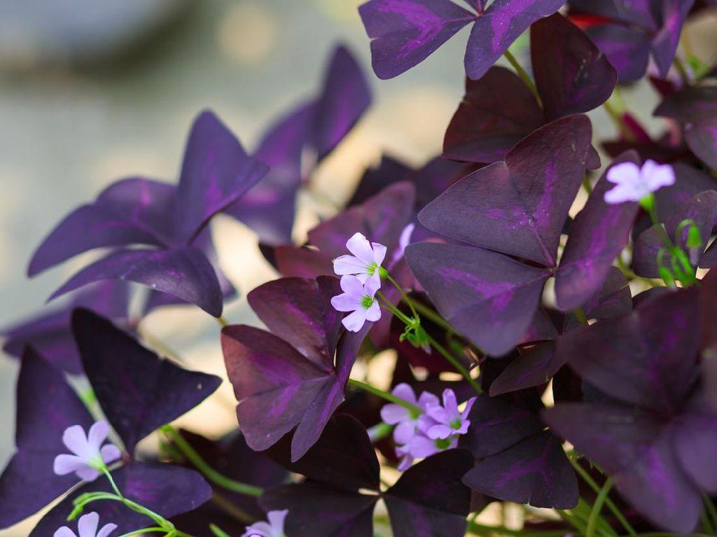 Mengenal Bunga Kupu-kupu, Tanaman Hias Warna Ungu yang Mudah Dipelihara