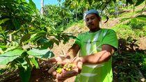 Curhat Para Petani Kopi Lereng Gunung Muria di Tengah Pandemi