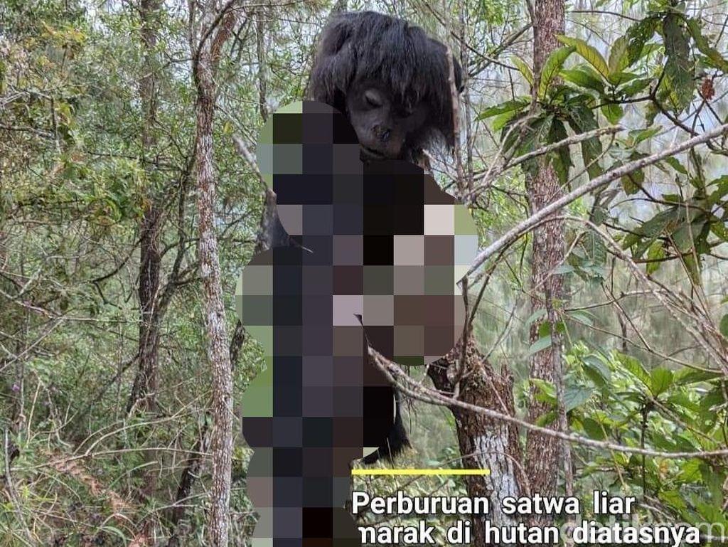 Jadi Korban Perburuan Liar, Lutung Jawa Ditemukan Tinggal Kulit dan Kepala