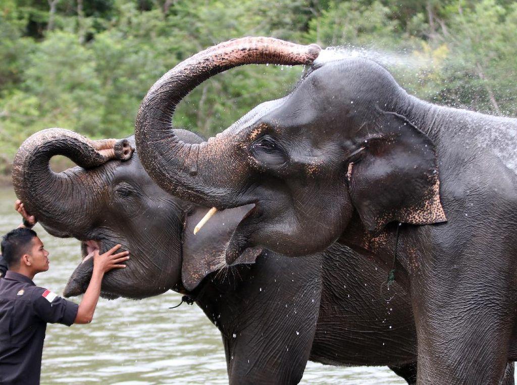 Tahu Engga? Hari Ini Hari Gajah Sedunia Lho