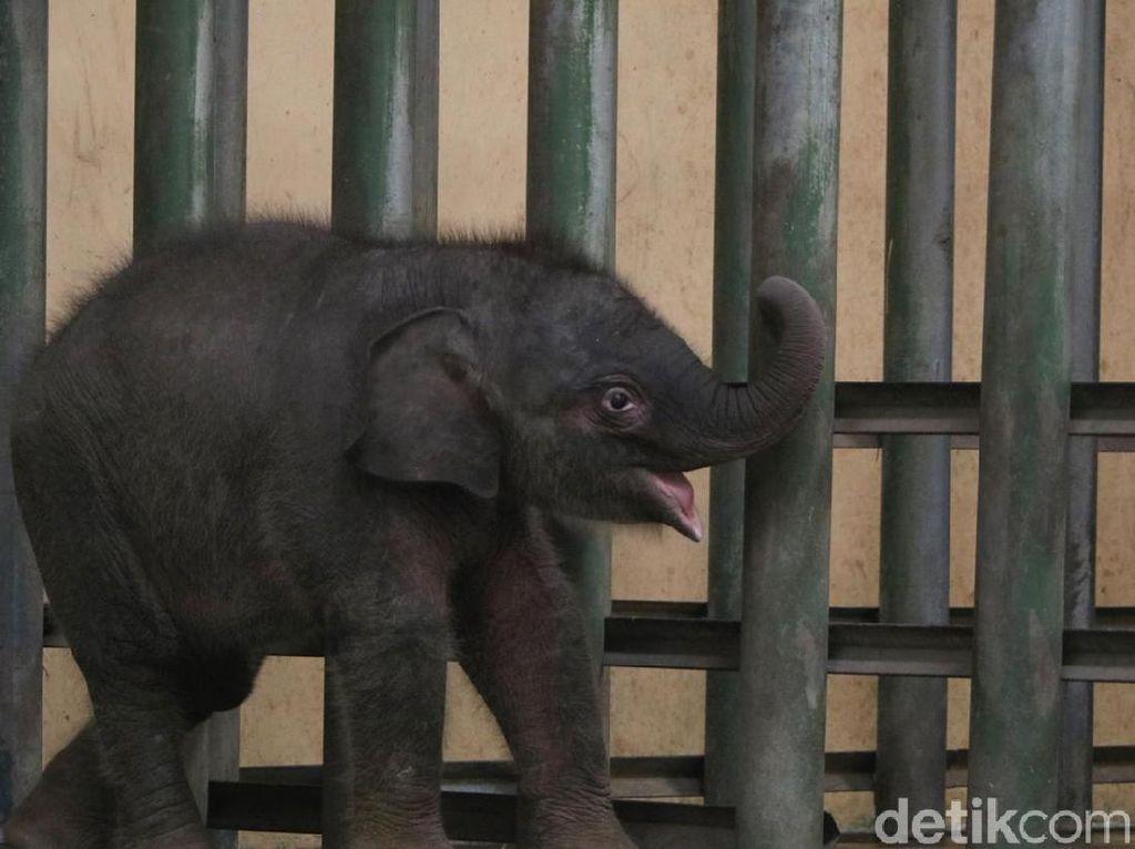 Potret Gemas Bayi Gajah Taman Safari Prigen