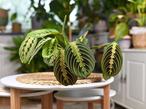 Tropical 'Maranta Leuconeura Fascinator' houseplant, also called Prayer Plant,  with leaves with exotic red stripe pattern on small coffee table in living room