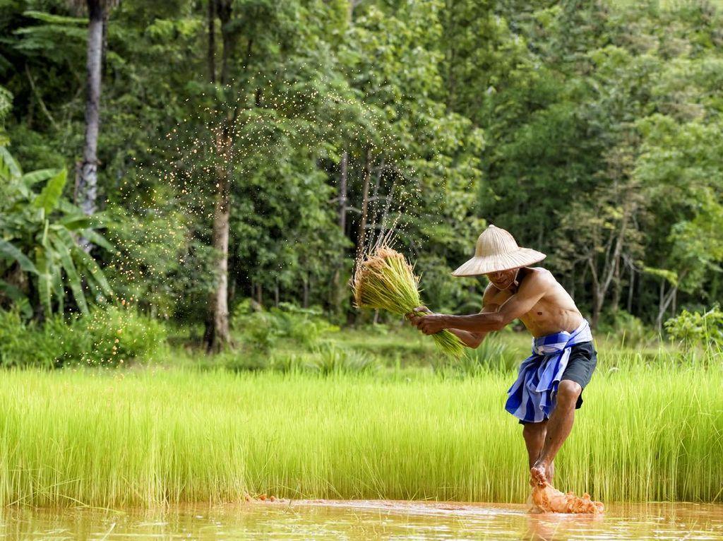Tradisi Weri Mata Nii Digelar Masyarakat Flores Saat Masa Tanam Padi
