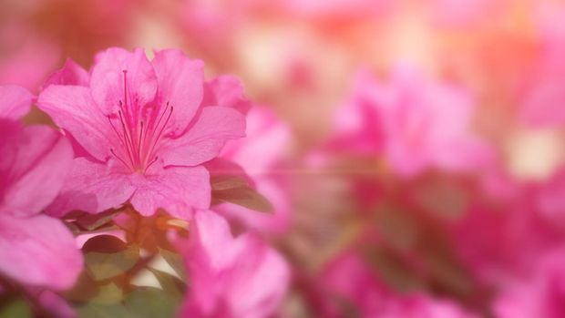 Sunset Pink Azalea