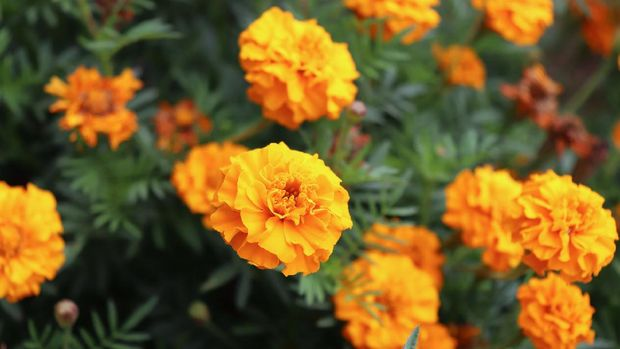 Orange Tagetes flowers close up in organic garden, many-petalled flowers with various shades of yellow, orange, bronze and red appear in every imaginable combination. Blurred background.