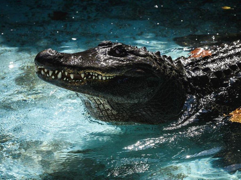 Muja Aligator Tertua di Dunia Rayakan Ultah!