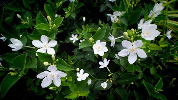 The White Gardenia Flowers Blooming in The Tree Shop