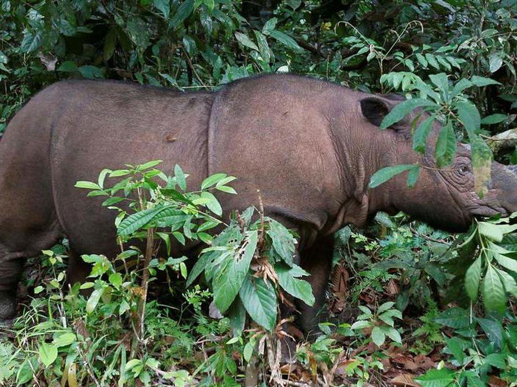 Ilmuwan Malaysia Berusaha Kembalikan Badak Sumatra dari Kepunahan