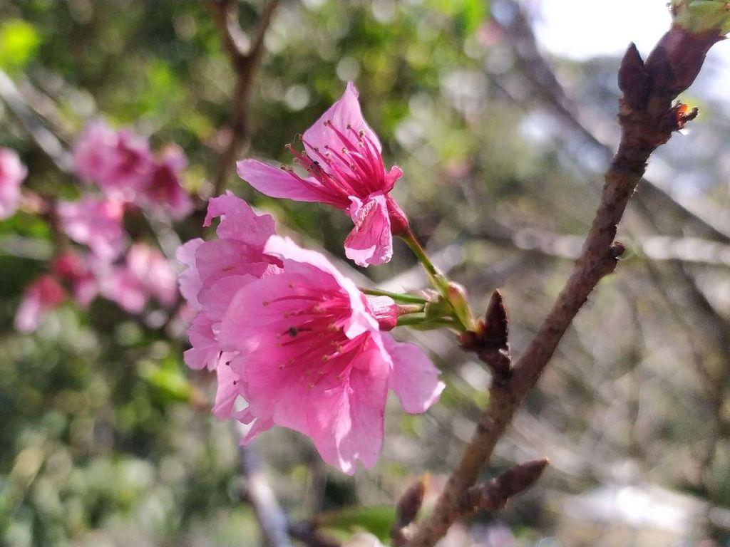 Seperti di Jepang, Bunga Sakura Bermekaran di Kebun Raya Cibodas