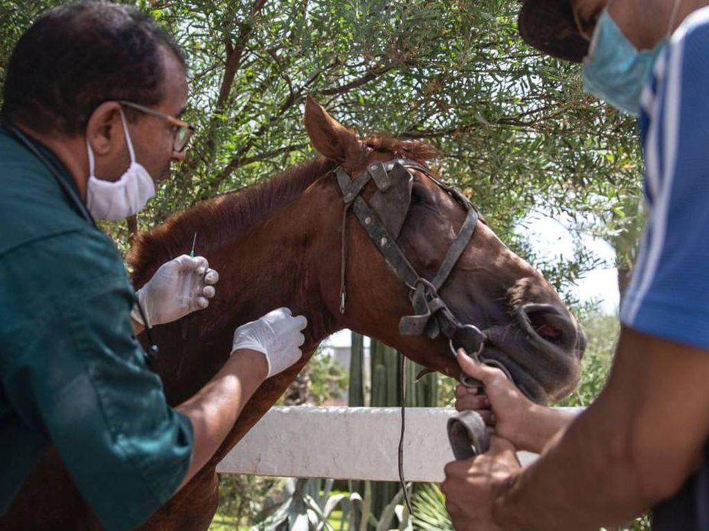 Sektor Pariwisata Kolaps, Kuda-kuda di Maroko Kelaparan