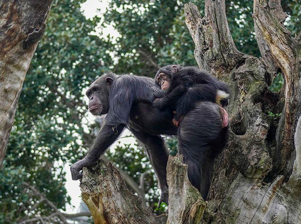Simpanse Ditemukan Mati, Sydney Zoo Langsung Tutup Sementara