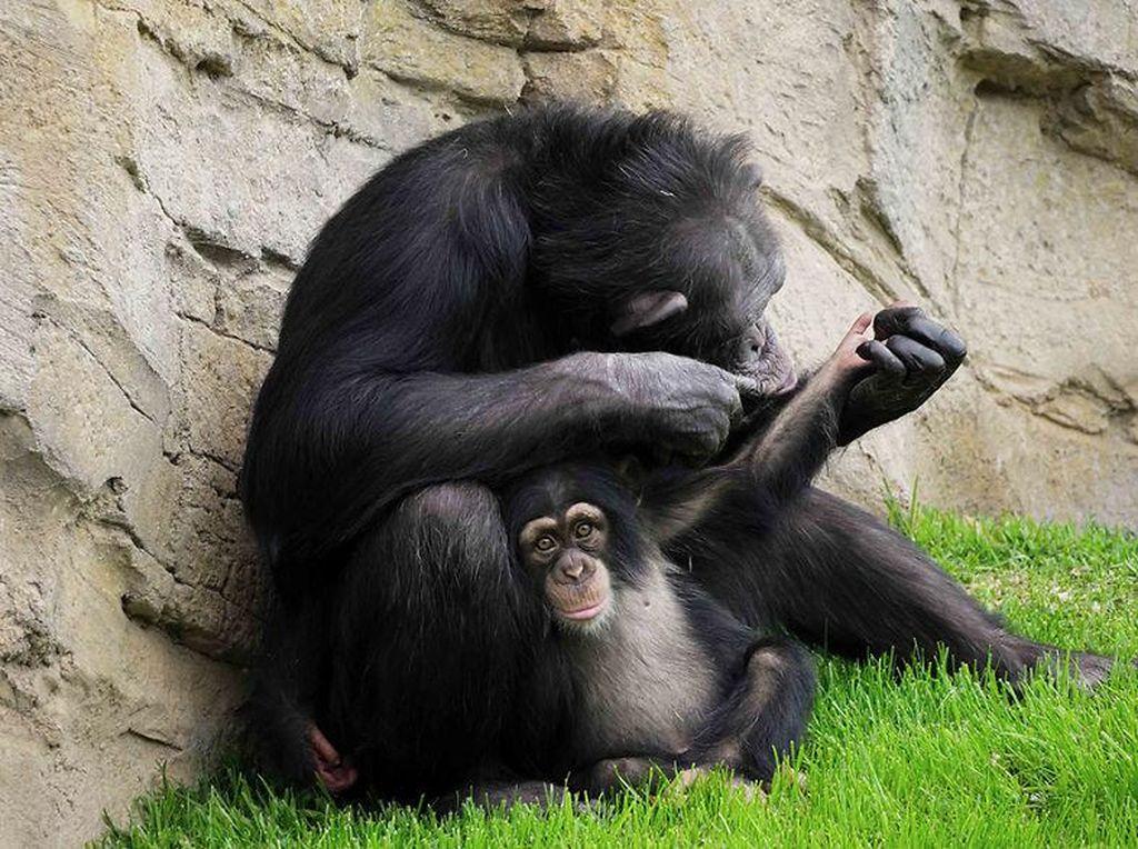 Ini Cerita Cinta Terlarang Antara Simpanse dan Manusia