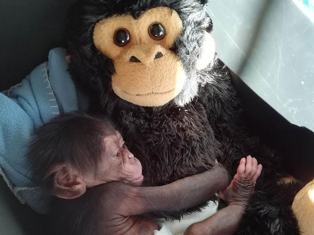 Foto: Bayi Simpanse yang Diterlantarkan Induknya