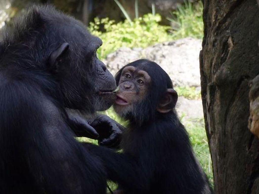 Haru! Simpanse Kecil yang Ditolak Induknya Temukan Keluarga Baru