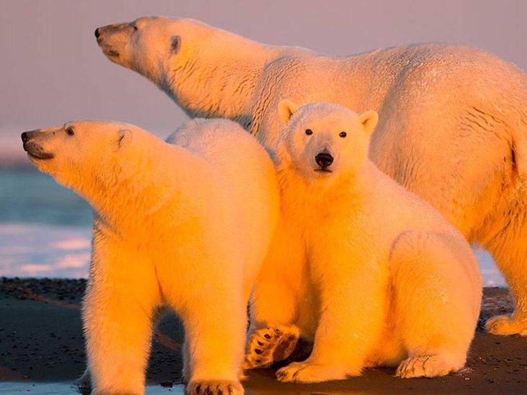 Satwa Liar Terancam Pengeboran Minyak Amerika Serikat di Arktika