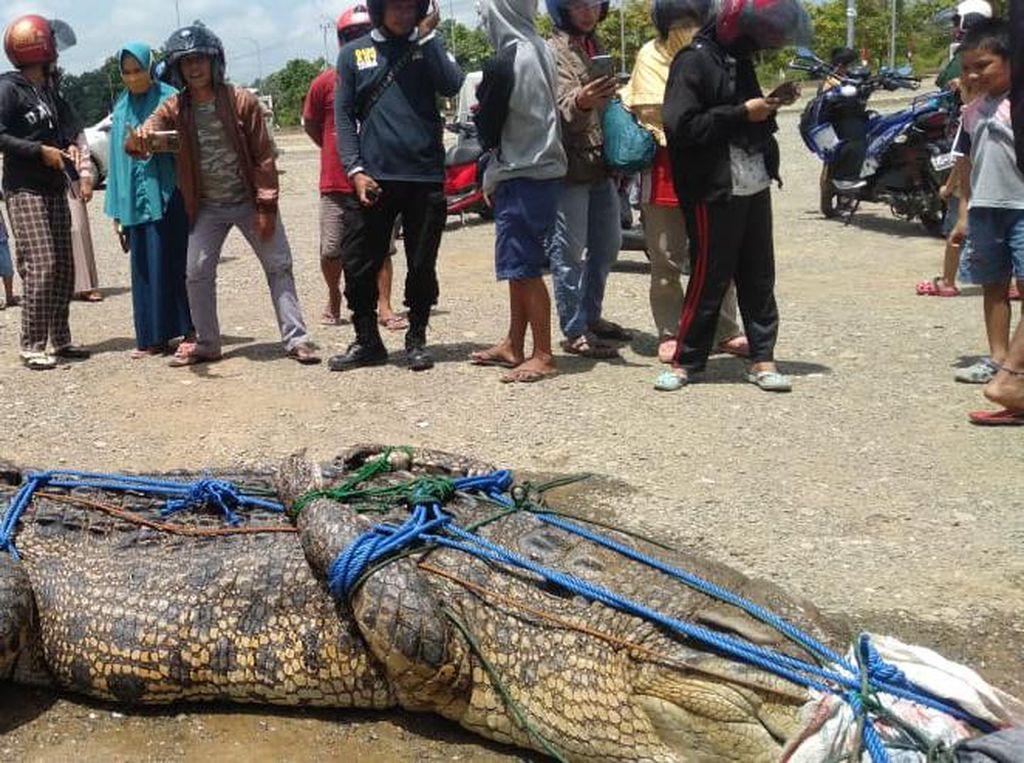 Mangsa Warga Saat Buang Air, Buaya 5 Meter di Mamuju Tengah Ditangkap