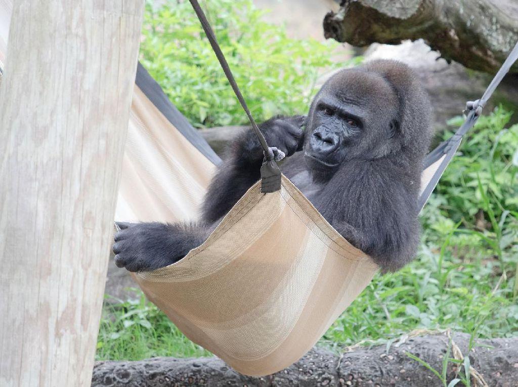 Sedang Hamil, Gorila Pertama di Kebun Binatang Ini Banjir Hadiah